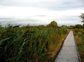 View back along the excellent boarded pathway towards the entrance at Greylake RSPB