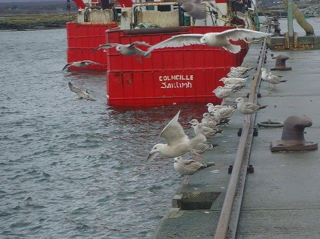 Two Iceland Gulls and one Glaucous Gull can be seen in this photograph.