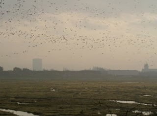 Lapwings over the fields beside the Sandgrounders Hide, with the iconic gasometer in the distance.