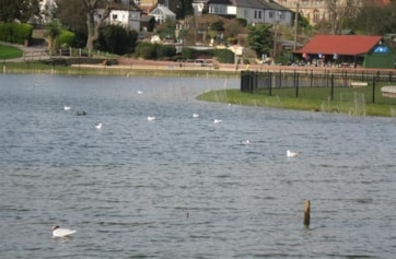 Marine Lake, Prom Park, Maldon (limpy the Med Gull in foreground).