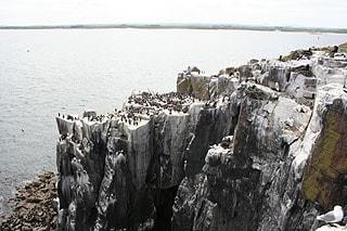 Seabird colony on Inner Farne