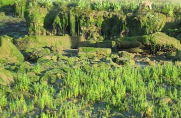 The salt marsh (samphire).