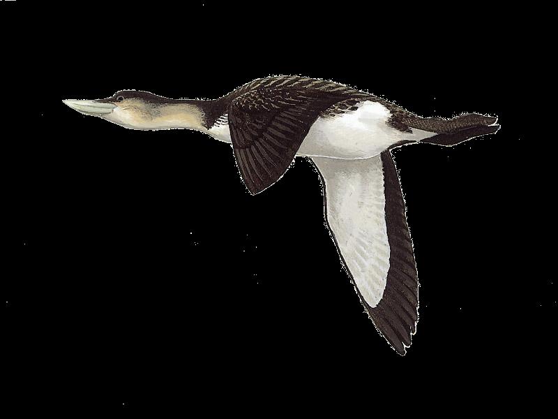 White-billed Diver