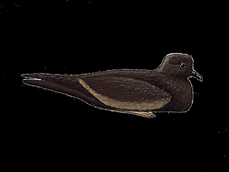 Bulwer's Petrel