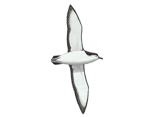 Little Shearwater