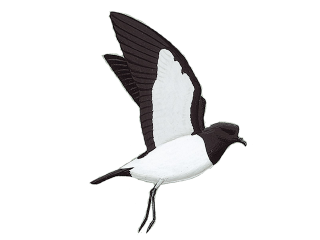 White-bellied Storm-petrel