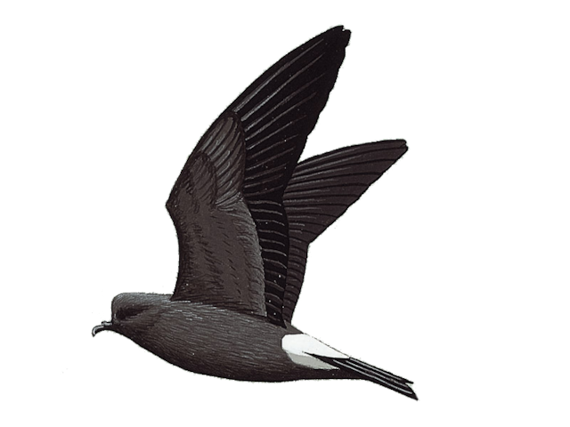 Leach's Storm-petrel