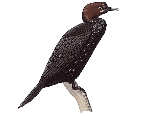 Pygmy Cormorant