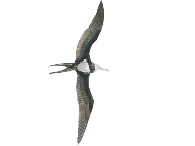 Ascension Frigatebird