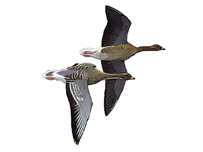 Pink-footed Goose