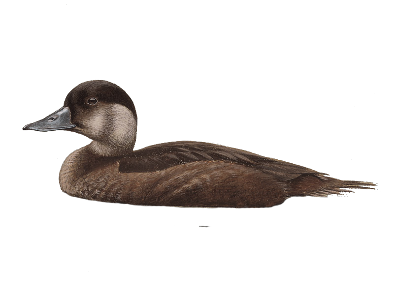 Common Scoter