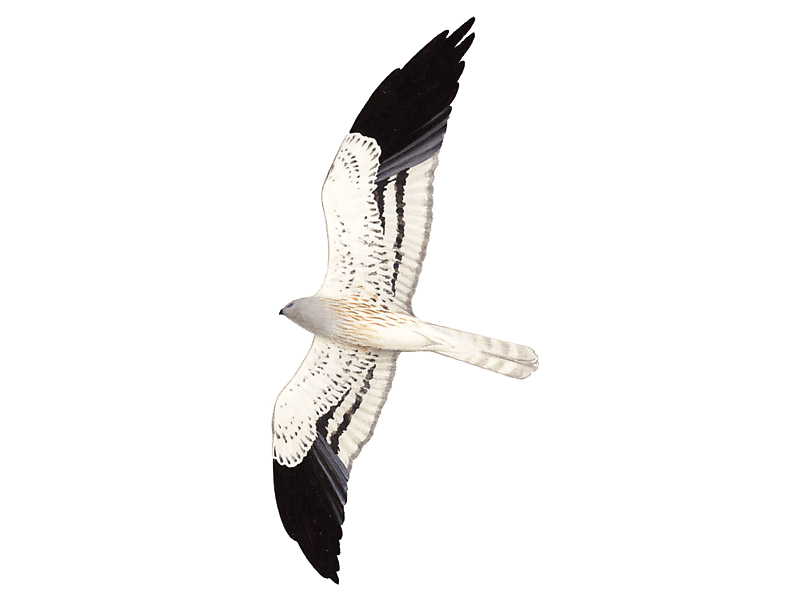 Montagu's Harrier