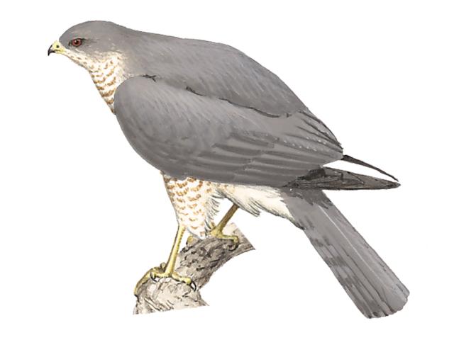 Levant Sparrowhawk
