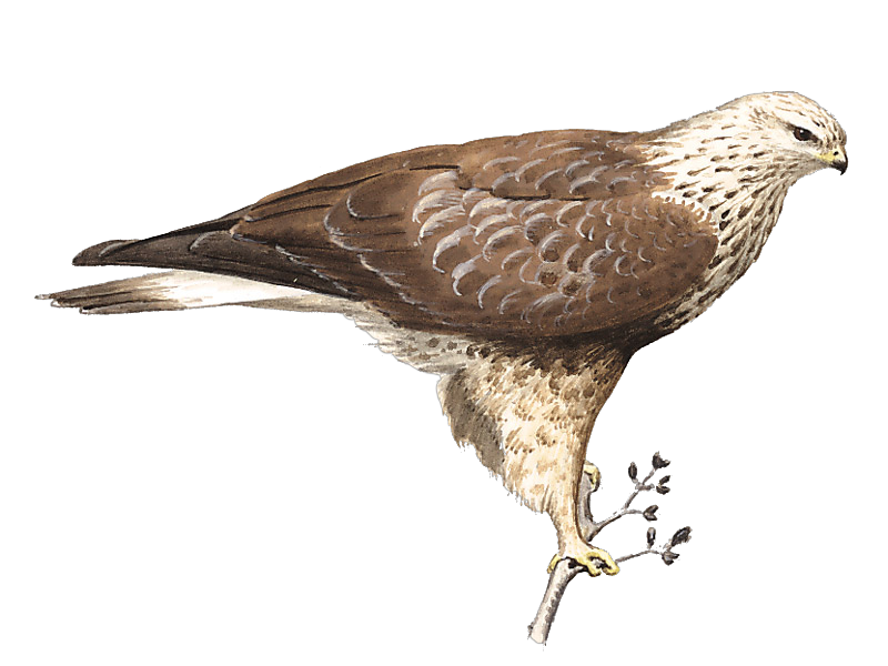 Rough-legged Buzzard