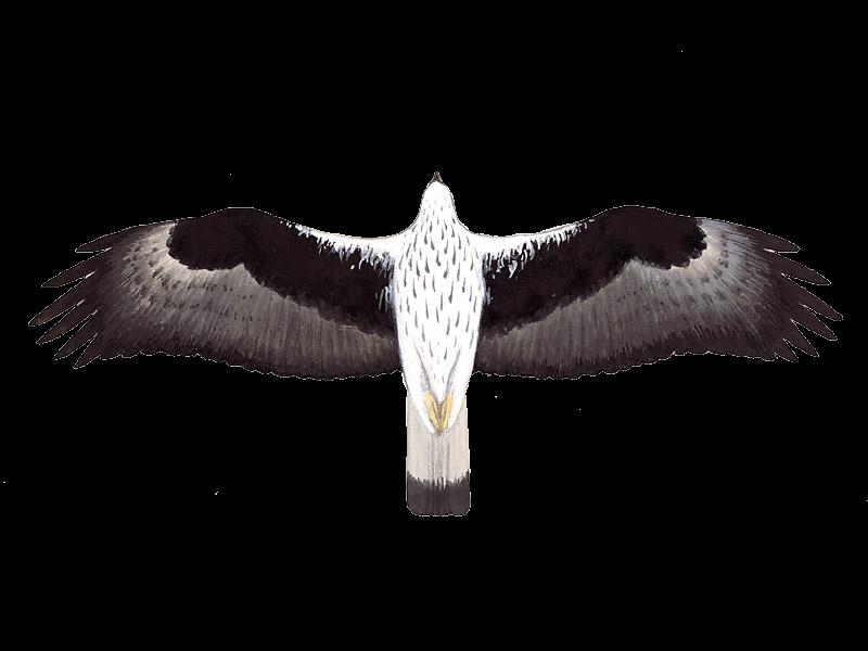 Bonelli's Eagle