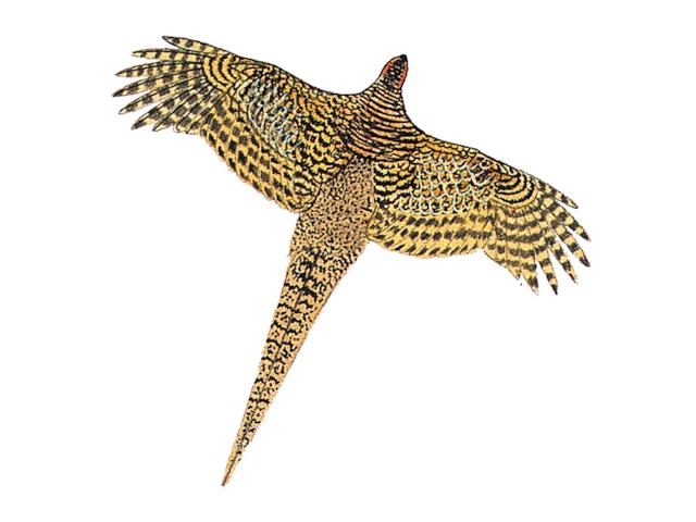 Lady Amherst's Pheasant