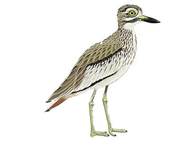 Senegal Thick-knee