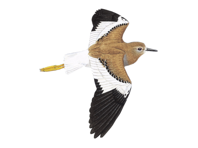White-tailed Plover