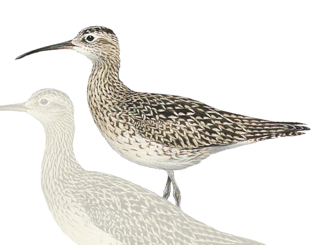 Little Whimbrel
