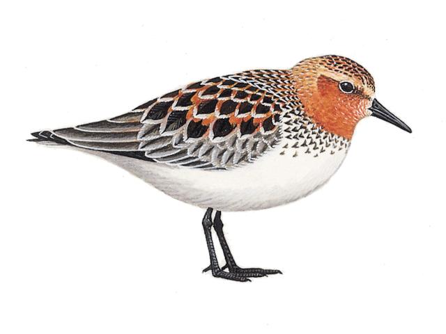 Red-necked Stint
