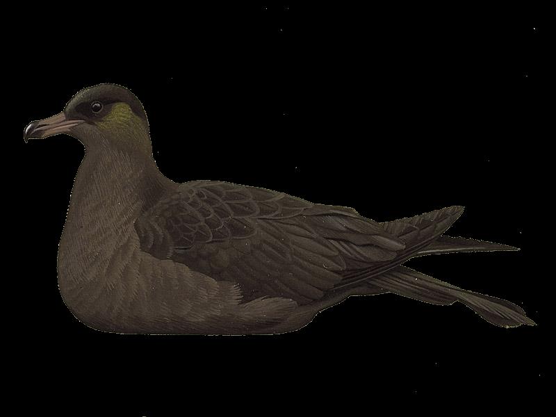 Pomarine Skua