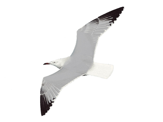 Audouin's Gull