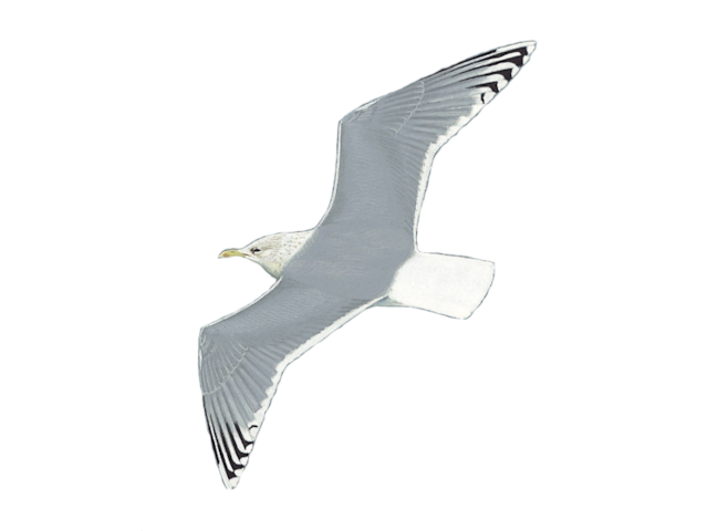Iceland Gull