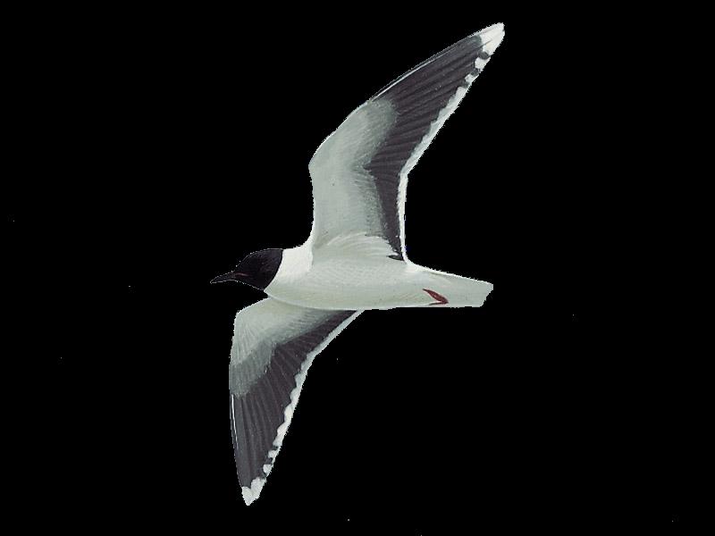 Little Gull