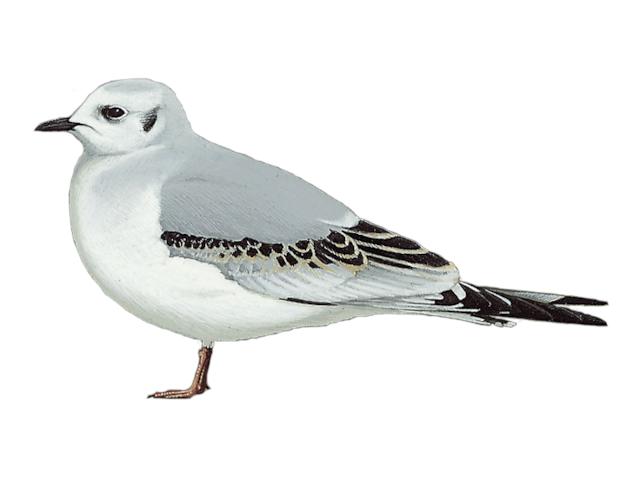 Ross's Gull