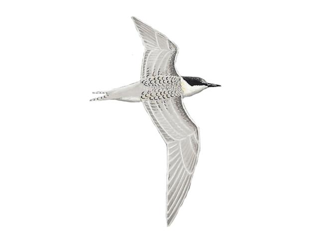 Roseate Tern
