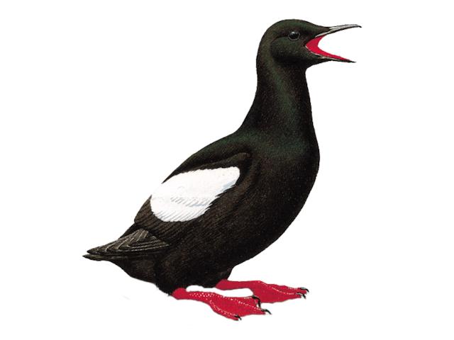Black Guillemot