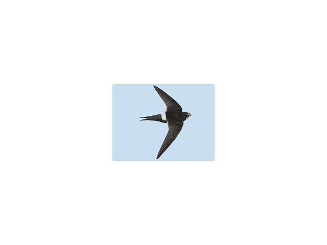 White-rumped Swift