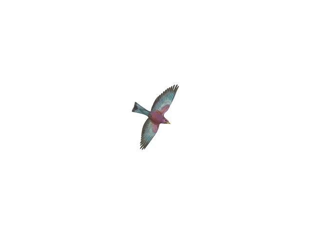 Broad-billed Roller