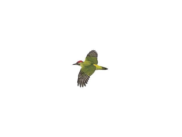 Levaillant's Green Woodpecker