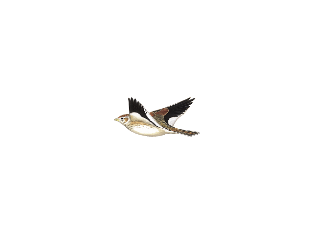 White-winged Lark