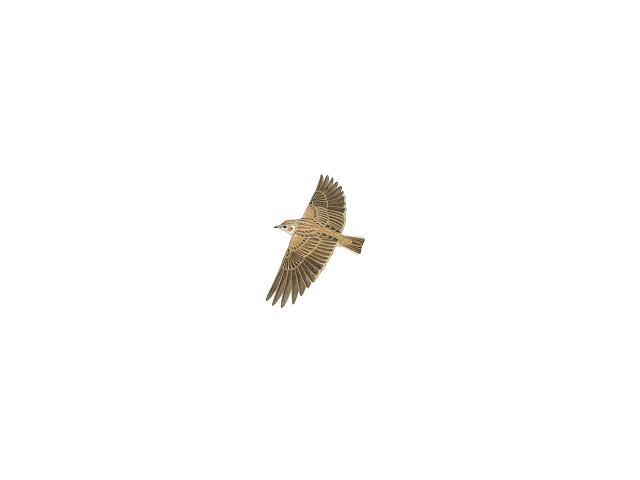 Small Skylark