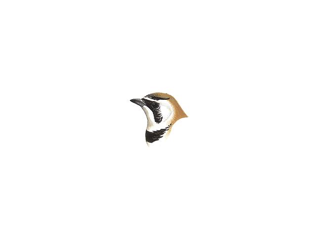 Temminck's Horned Lark