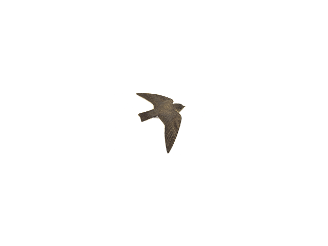 Brown-throated Sand Martin