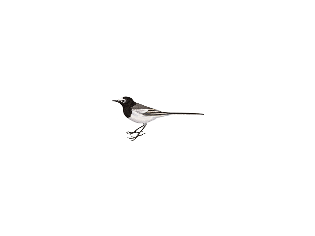 Pied/White Wagtail