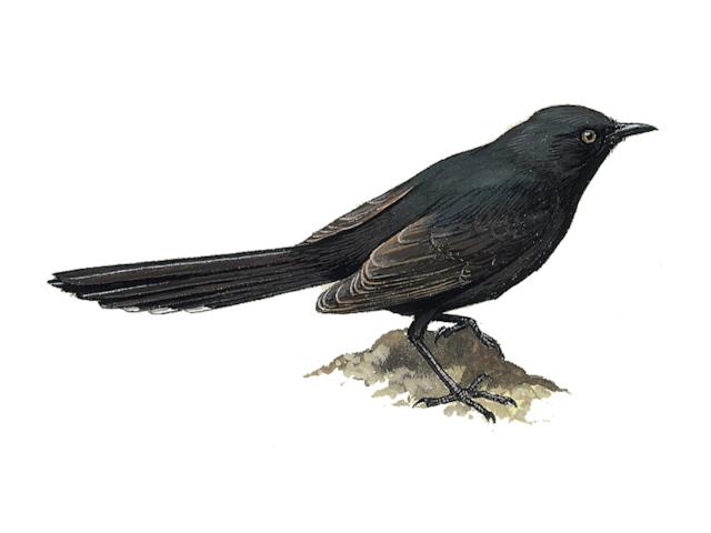 Black Bush Robin