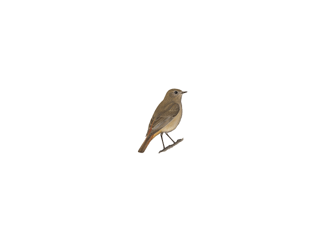 Güldenstädt's Redstart
