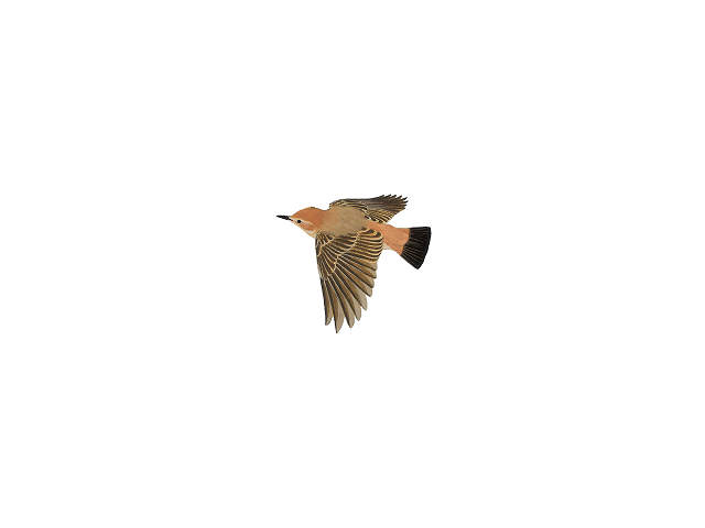 Red-rumped Wheatear
