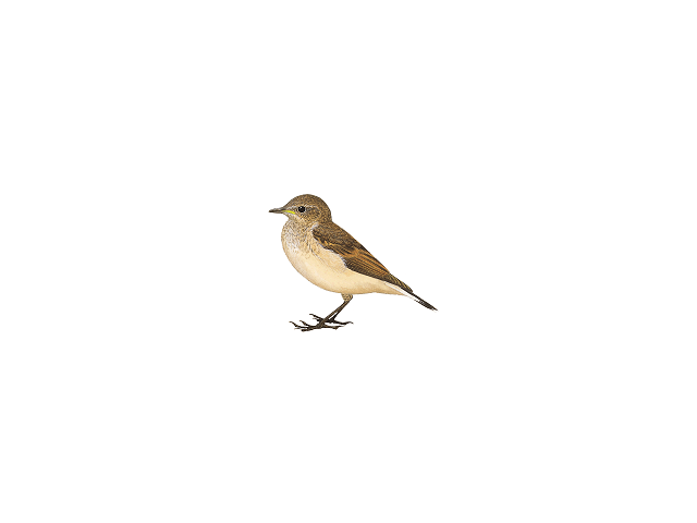 Black-eared Wheatear