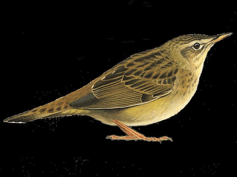 Pallas's Grasshopper Warbler