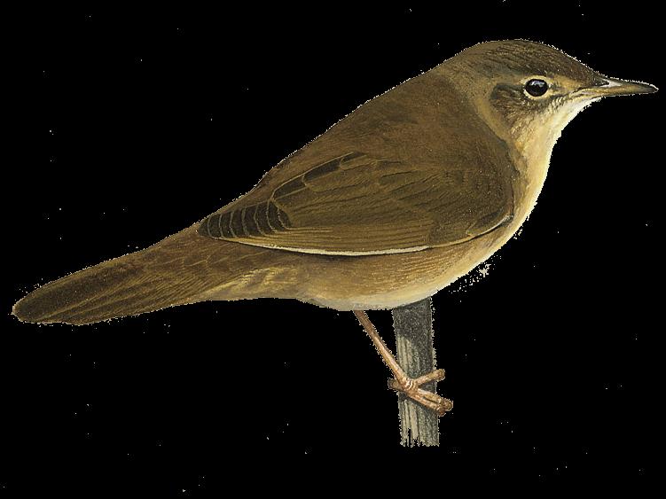 Savi's Warbler