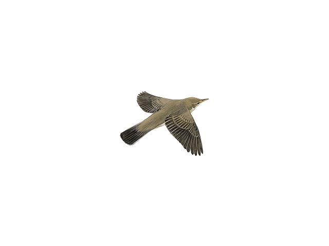 Upcher's Warbler