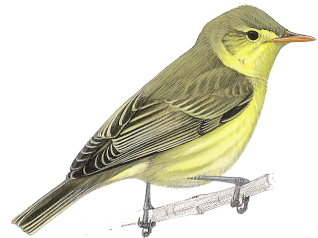Icterine Warbler
