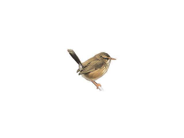 Scrub Warbler