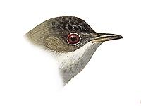 Rüppell's Warbler