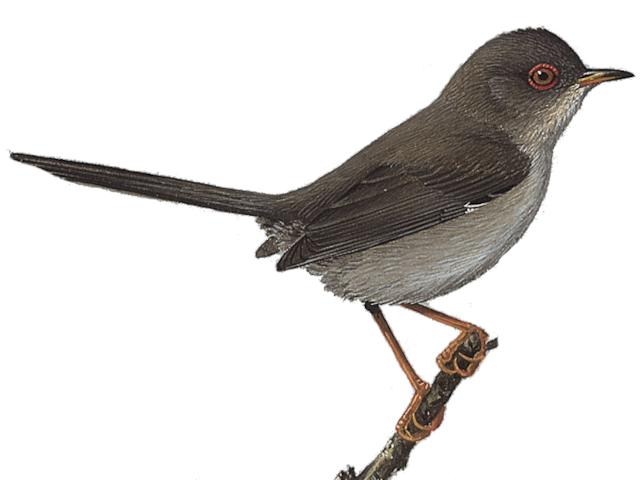 Marmora's Warbler